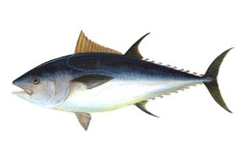 O atum, um alimento básico da dieta Mediterrânea