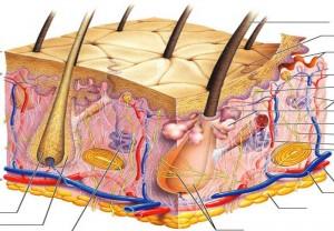 funções da pele