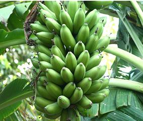 Farinha de Banana verde Para Emagrecer