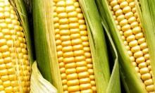Milho: benefícios e propriedades do milho